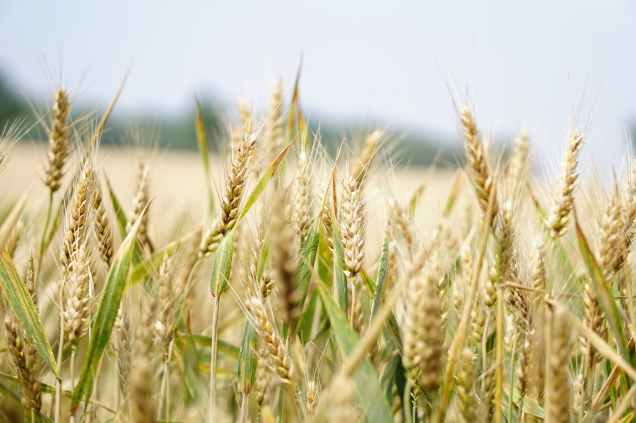 agriculture arable barley blur